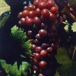 Conheça a história da uva Moscatel Roxa da região de Setúbal e saiba porque ela quase foi extinta